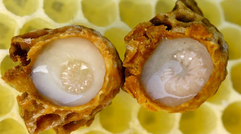 """Пчелното млечице – """"суперхраната"""" на пчелата-майка"""