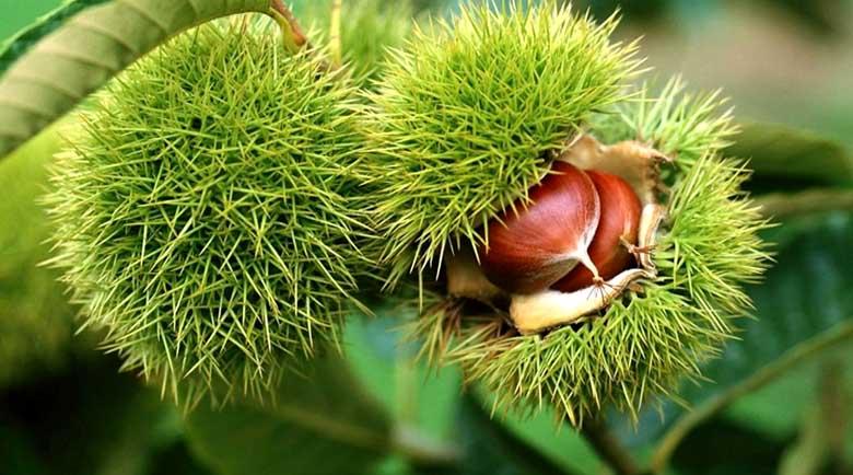 Дивият кестен – лек от природата, под възглавницата за здрав сън