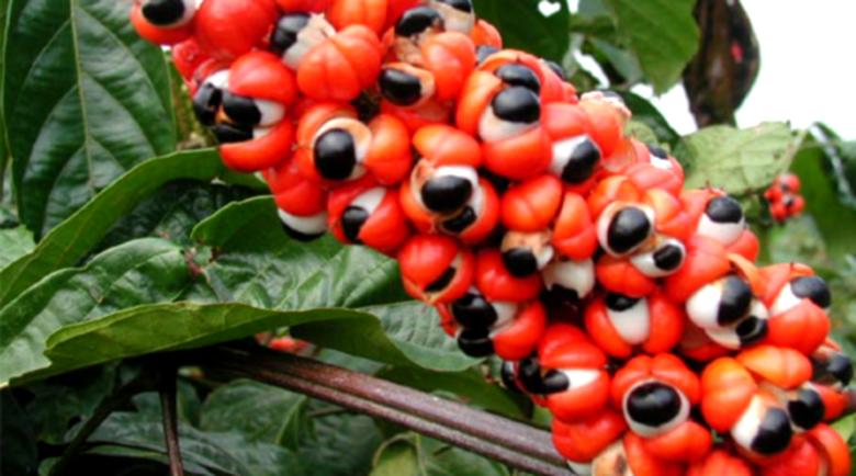 Гуараната повишава либидото и намалява излишните килограми