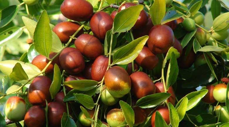 Китайската фурма Хинап е в топ 5 на най-полезните растения