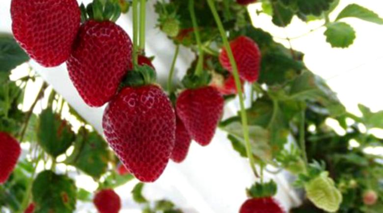 Червената ягода – източник на здраве в народната медицина