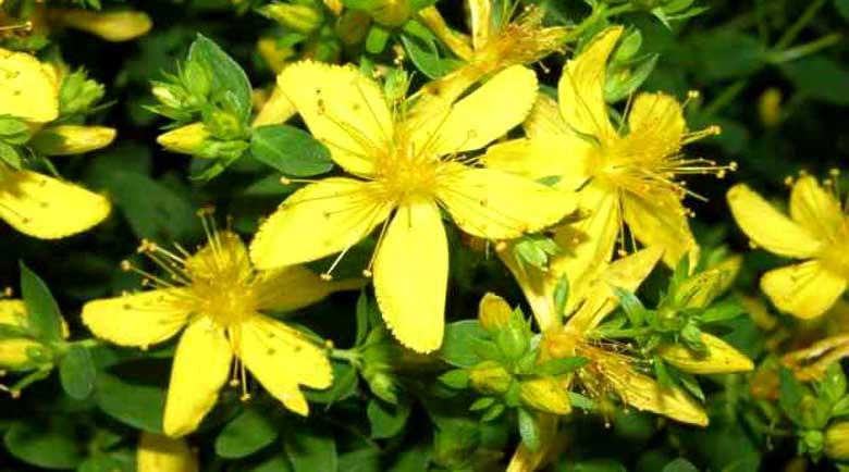 Блатен аир и жълт кантарион при язва
