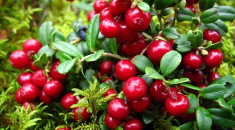 Северни плодчета са много полезни за сърцето