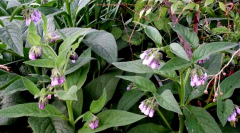 Черният оман – полезно лечебно растение, ускорява заздравителните процеси