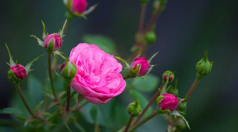 """Царицата на цветята – """"Нейно величество"""" розата е и лековита"""