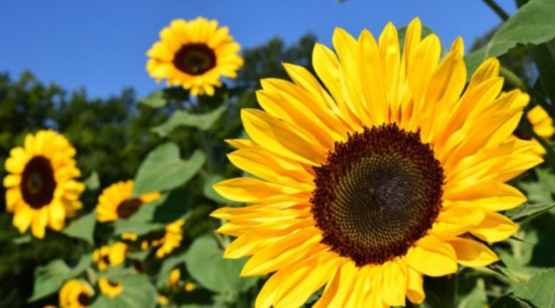 Проф. Мермерски: Слънчогледът е лековит от корена до семената