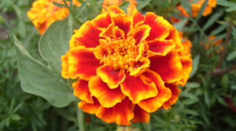 Красивото цвете турта помага при миоми