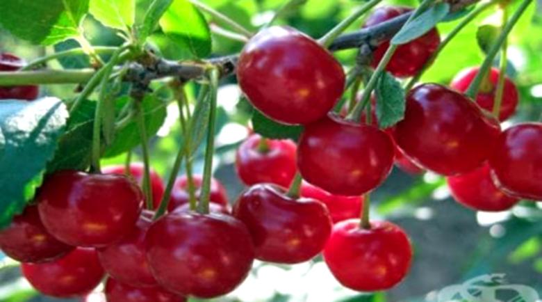 Хапването на вишни намалява опасността от пристъпи на подагра