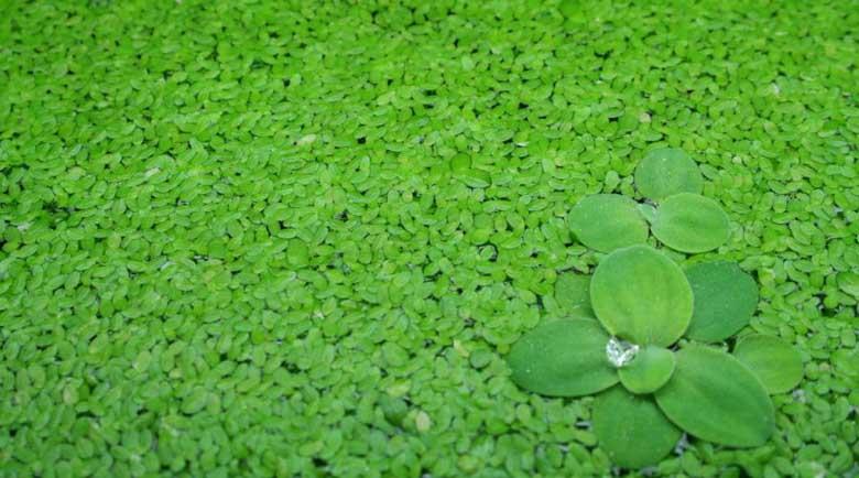 Водната леща пречиства организма, лекува депресия и сваля килограми