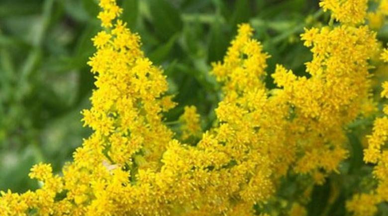 Три билки церят болни бъбреци и цистити