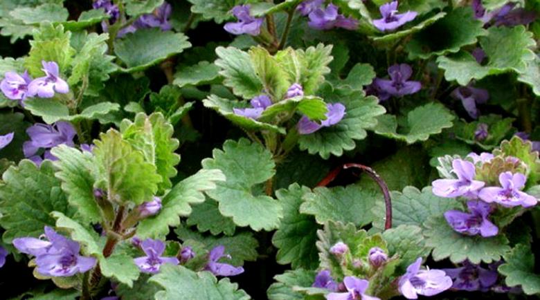 Бабичева трева облекчава хроничен бронхит и хрема