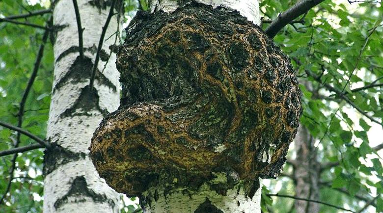 Удивителните лечебни свойства на брезовата гъба Чага