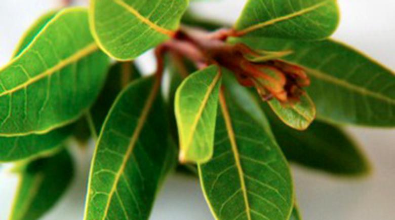 Дафиновите листа понижават кръвната захар, помагат при синузит и възпалени венци