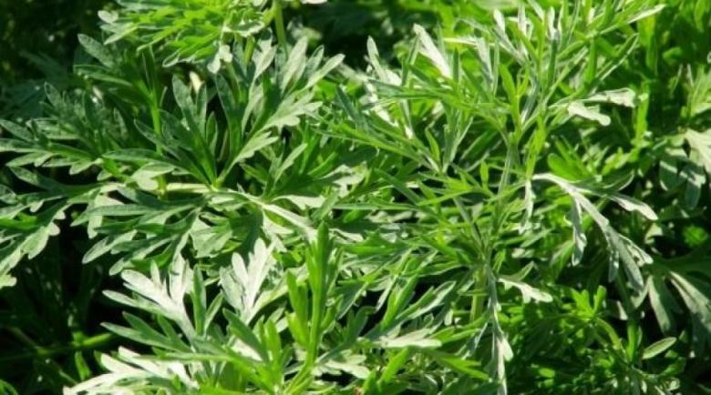 За това растение казват, че убива рак с метастази