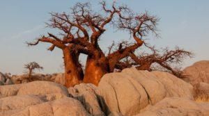 Баобаб – здраве за целия организъм