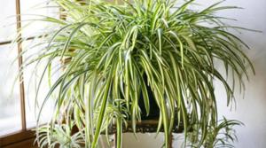Евтино растение, а лечебните му действия са огромни